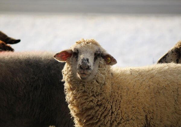 Sheep Shearing: The Barbaric Reality