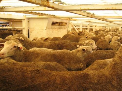 Typical sheep stocking density