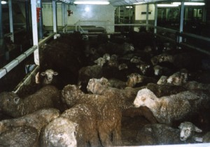 Sheep on live export ship