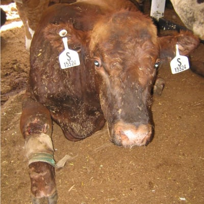 Downed cow with leg abrasions