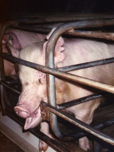 Sows in stalls