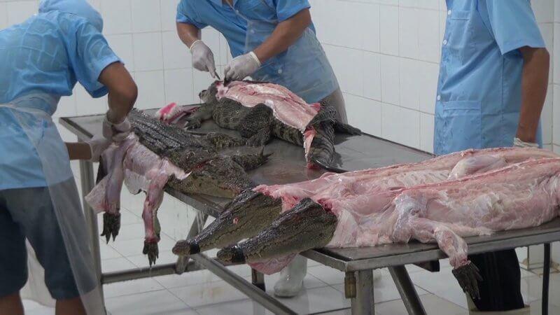 Crocodiles skinned in Vietnam