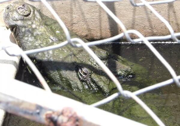 Crocodile held in barren pit.