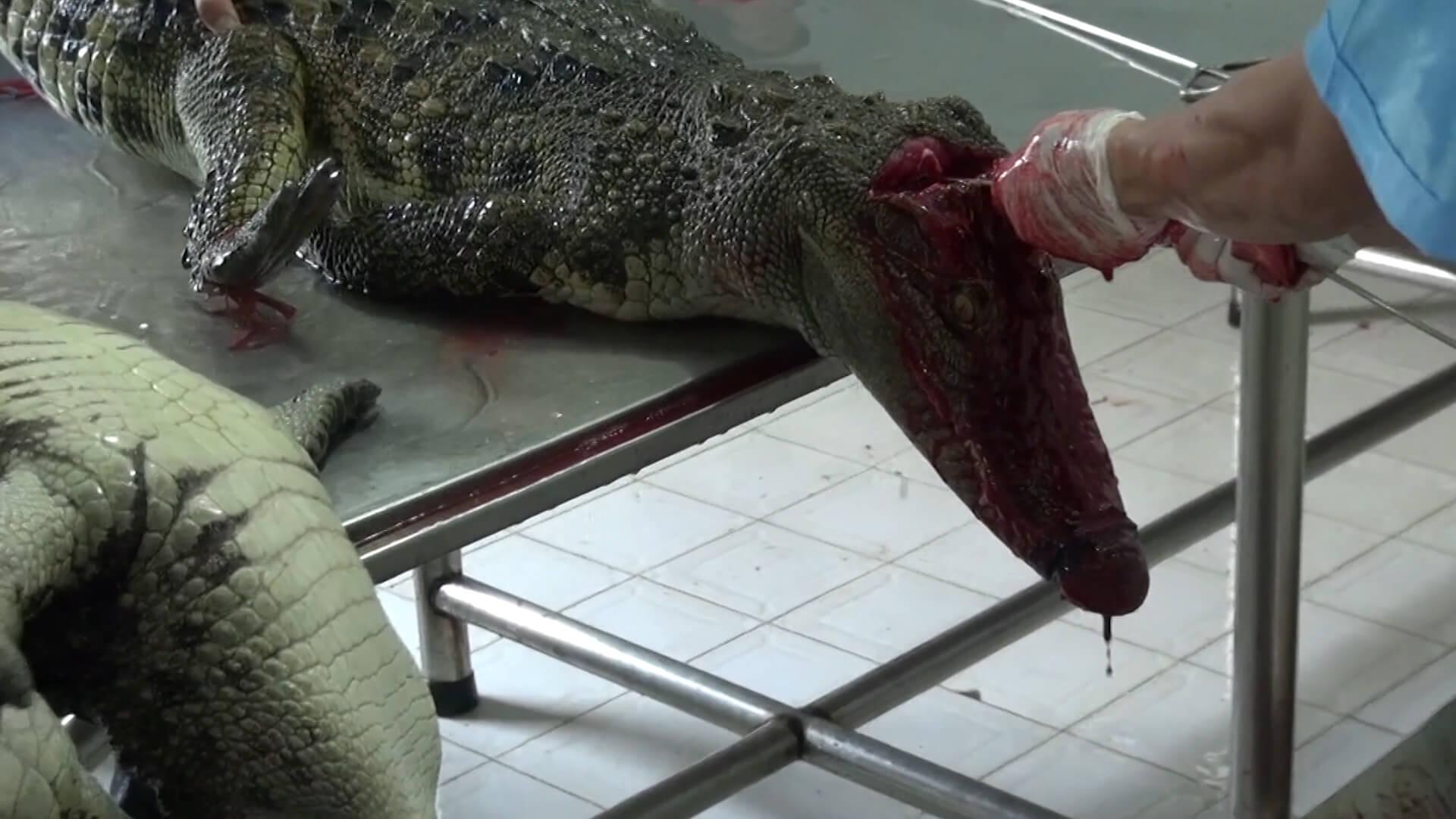 Crocodiles being skinned.