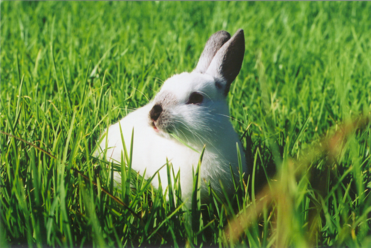 a photo of a white rabbit in grass.