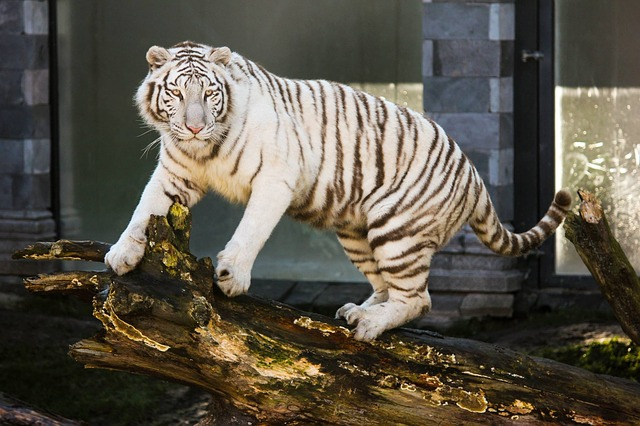 White Tiger in Zoo