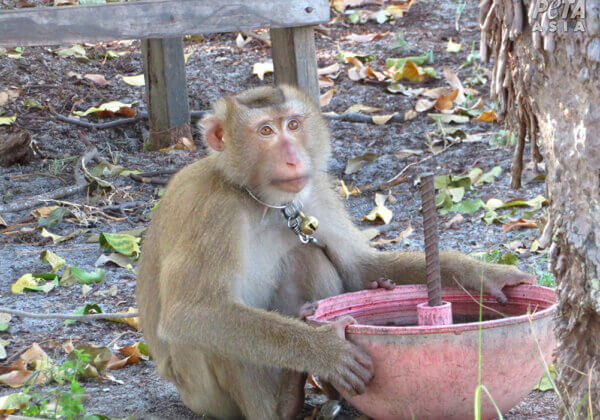 Working monkeys are forced to wear rigid metal collars