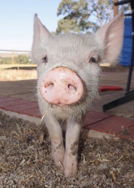 Freedom Hill Sanctuary Pig