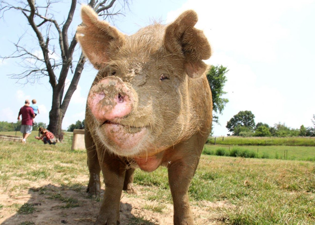 Victory for Pigs in New Zealand!